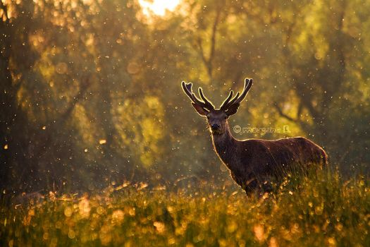 Proud red deer IV by moem-photography
