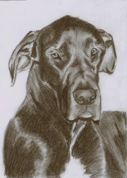 Sketch of my Great Dane by ChristianCowgirl116