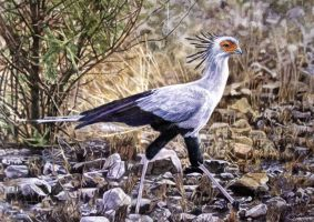 Secretary Bird by WillemSvdMerwe