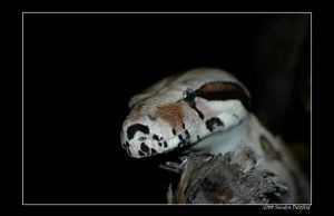 Boa by grugster